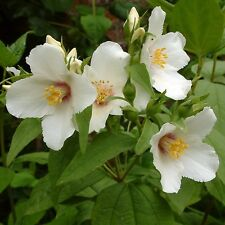 PHILADELPHUS Shrub Mock Orange BELLE ETOILE White Scented 3lit Potted Hardy