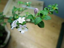 "Cherry Blossom Serissa Tree - 2.5"" Pot - House Plant, Fairy Garden Plant, Bonsai"