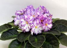 ☘ RS-SERPANTIN ☘ SERPENTINE ☘ African Violet Plant Saintpaulia ☘ Plug Ukrainian