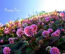 Pinkhead Smartw -  polygonum capitatum  - 110 seeds - Perennial flower - Rockery