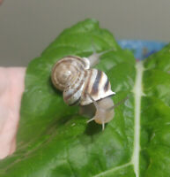 Live Land Snails, 5 Milk Snails Otala lactea Educational Pet Feeder Escargot