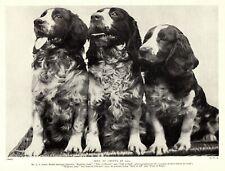 1930s Antique Welsh Springer Spaniel Dog Print Vintage Dog Photo Print 3291-U