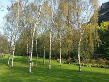 3 Silver Birch Native Trees 90-120cm 2 yr old Hedges Betula In 2L Pots