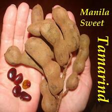 ~MANILA SWEET TAMARIND~ Tamarindus indica SPICE TREE 2 Small PLANTS