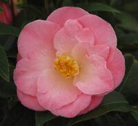 April Remembered pink camellia ( Zone 6 ) - Live Plant - Quart Pot
