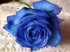 30 semi ROSA BLU - BLUE ROSE + OMAGGIO