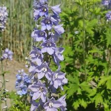 Delphinium Guinevere Appx 50 seed - Perennial