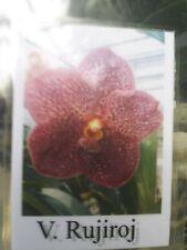 Orchid Vanda Ruchiroj Aka Rujiroj Exotic Tropical Plant