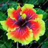 Hibiscus Flower Bonsai Seeds Plants Giant Tree Perennial Flowers For 100pcs/bag