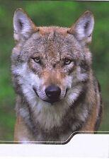Europäischer Grauwolf