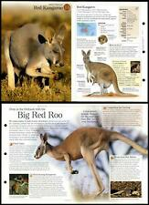 Red Kangaroo #13 Mammals - Discovering Wildlife Fact File Fold-Out Card