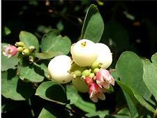 Snowberry - Symphoricarpos Albus - 25 seeds -  Shrub - White Berries - Hedging