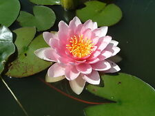 Lucky Dip LIVE Water Lily Pond Plant Aquatic Lilly Lotus Alba