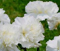 CARNATION GRENADIN WHITE Dianthus Caryophyllus - 200 Bulk Seeds