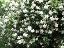 Mock jazmín naranja (Philadelphus lewisii) grande, flores blancas fragantes