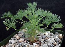 Sarcocaulon herrei Succulent relative of Geranium and Pelargonium. Nice flowers!