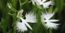 Egret Flower  Bonsai Plants White Dove Orchid Garden Terrace Flower 80 Seeds