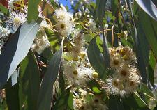 Huile Essentielle Eucalyptus Radiata 10ml pure