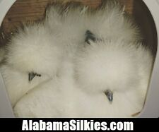 "20 SILKIE CHICKEN HATCHING EGGS - NPIP - AI CLEAN - ""Silkie Silkie Silkie"""