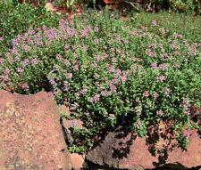 CREEPING THYME Thymus Serpyllum - 21,000 Bulk Seeds