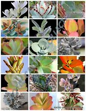 RARE KALANCHOE MIX flowering plant exotic cactus flower succulents seed 30 seeds