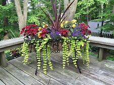 (25) Creeping Jenny Starter Plants -Containers Hanging Baskets Grd Cvr-Sun/Shade