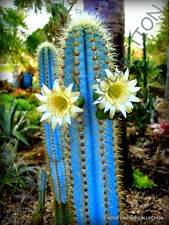 RARE PILOSOCEREUS PURPUREUS @J@ exotic color columnar cacti cactus seed 10 SEEDS