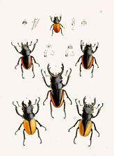 """Riproduzione insetto stampa da """"Il Gabinetto del Oriental entomolgy' #027"""