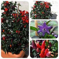 Explosive Ember bunte Chili mit schwarzen Blättern scharfe Zier-Chilli