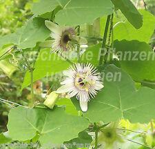 PASSIFLORA morifolia blaue Früchte decorativo 5 SEMI