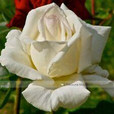 Yunnan White Roses 50 Seeds Plant Snapdragon Garden Flower Fragrant Unique Rose