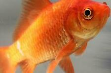 100ct+ Live Fish Goldfish (Medium) GUARANTEE ALIVE, FAST SHIPPING