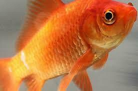 10+ Live Fish Goldfish (SMALL)GUARANTEE ALIVE (2-Day Shipping)
