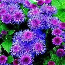 500 semillas Mr fothergills-Flor-Nigella amor en una niebla Señorita Jekyll