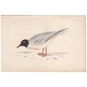 Morris Birds antique 1863 hand-colored engraving print 333 Little Gull