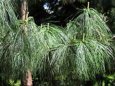 8 Graines - Pin pleureur de l'Himalaya - PINUS WALLICHIANA - Arbre - Samen Semi
