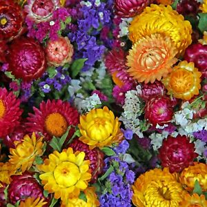 EVERLASTING DAISY 250+ Seeds STRAWFLOWER helichrysum PAPER flower garden NATIVE