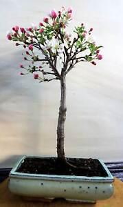 *CBG, Outdoor-Bonsai, Apfelbaum, Malus, 14 Jahre, # 219