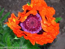 25 Oriental Poppy Flower Seeds Prince Of Orange Poppies Papaver Orientale #47