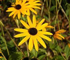 Rudbeckia fulgida Goldsturm - Black eyed Susan - 50 seeds - Annuals & Biennials