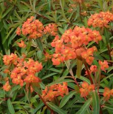 EUPHORBIA GRIFFITHII, GRIFFITH'S SPURGE 10 seeds