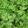 1000 Mugwort wormwood seeds Artemisia absinthium Pest medicinal repellent h I8D1