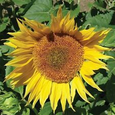 MAMMOTH Grey Striped Sunflower seeds 100 seed. HUGE. ***SAME DAY SHIPPING***