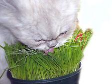 50g Grow Your Own KwayzeKatz™ CAT Oat Grass Treat your cats
