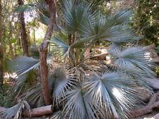 1 Plant Brahea Armata Palma blu palma tropicale tropical palm mexican blue palm