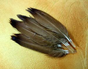 Rebhuhn Englisch braune Schwanzfedern (10 Stck.)
