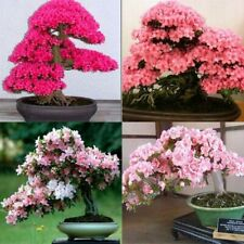 10 Sakura Tree Seeds Mixed Japanese Rare Bonsai Decorative Plant in Garden Home