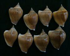 edspal shells - Strombus canarium 44.5mm-49.6mm F+++, set of 8pcs. shells