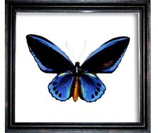 Ornithoptera urvillianus male in a frame of real wood. A good master...