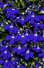 200 BLUE & WHITE HALF MOON LOBELIA Erinus Flower Seeds *Comb S/H